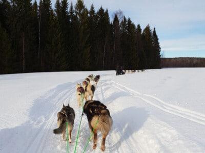 chien de traîneau en norvège