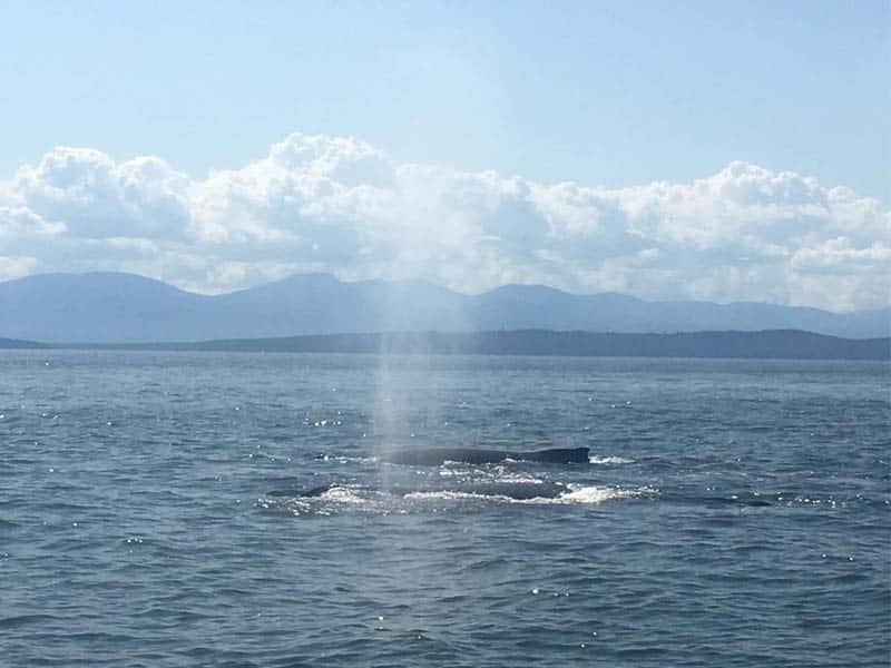 couple de baleine à Vancouvers