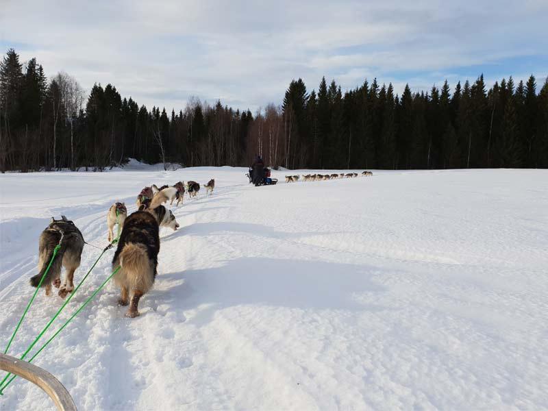 laponie suédoise chiens de traineaux